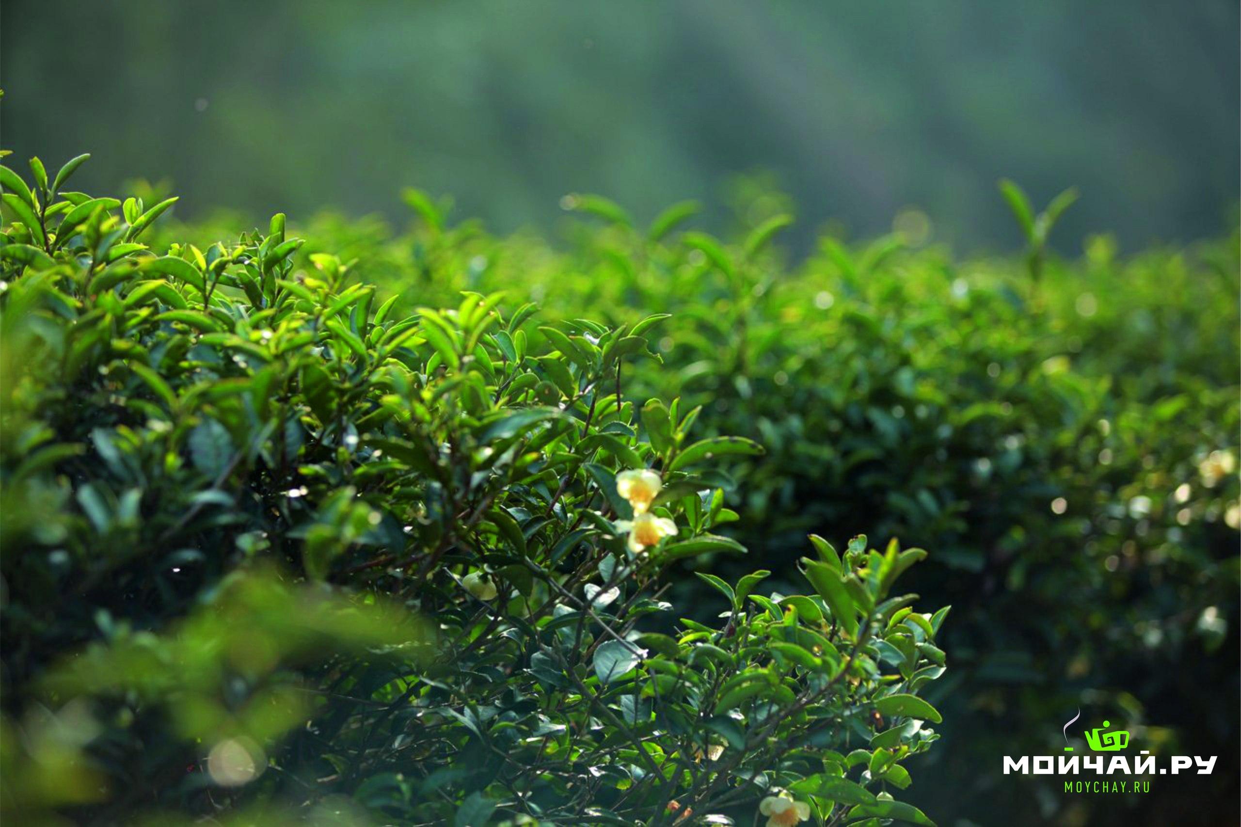 зеленый чай цветы